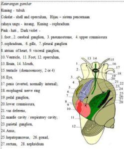 Anatomi Gastropoda